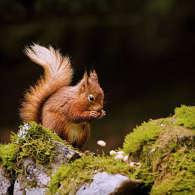 Red Squirrel Eating Nuts Poster