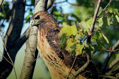 Red-tailed Hawk Looking Down From Tree Poster