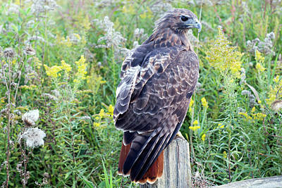 Red-tailed Hawk On Fence Post Poster