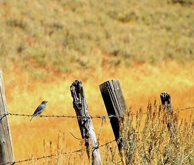 Rocky Mountain Blue Bird Poster