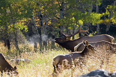 Rocky Mountain Bull Elk Bugeling Poster