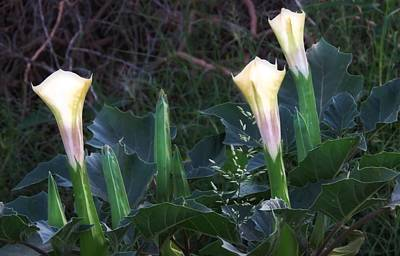 Poster featuring the photograph Sacred Datura Trio - Partial Blooms by Judy Kennedy