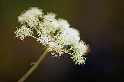 Scotland. Loch Rannoch. White Flowerhead. Poster