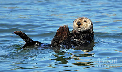 Sea Otter Primping Poster