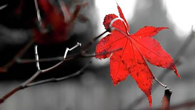 Poster featuring the photograph Selective Red Maple Leaf by Jerry Sodorff