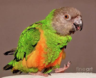 Senegal Parrot Poster