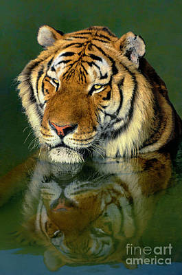 Poster featuring the photograph Siberian Tiger Reflection Wildlife Rescue by Dave Welling