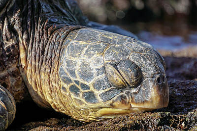 Sleepy Maui Sea Turtle Poster