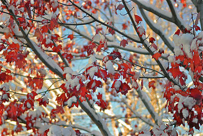 Snow On Maple Leaves Poster