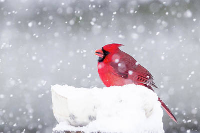 Poster featuring the photograph Snowy Cardinal by Lori Coleman