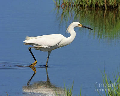 Poster featuring the photograph Snowy Egret by Debbie Stahre