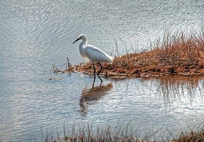 Snowy Egret Hunting A Salt Marsh Poster