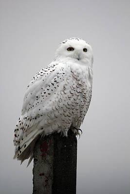 Snowy Owl In Fog Poster