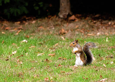 Poster featuring the photograph Squirrel Stood Up In Grass by Scott Lyons