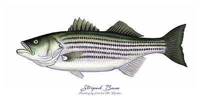 Striped Bass Poster