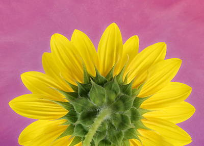 Poster featuring the photograph Sunflower On Pink - Botanical Art By Debi Dalio by Debi Dalio