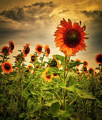 Sunflowers. Horytsya, 2014. Poster