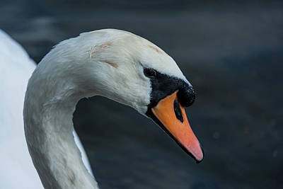 Poster featuring the photograph Swan Head Close Up On Blue Background by Scott Lyons