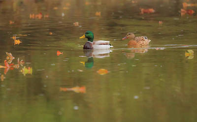 Poster featuring the photograph Swimming Ducks In Autumn by Dan Sproul