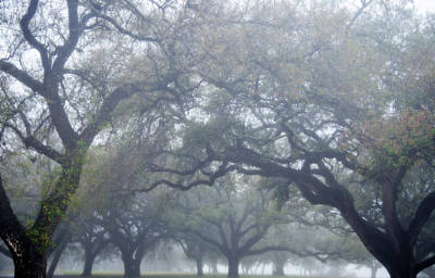 Texas Live Oaks In Fog Poster