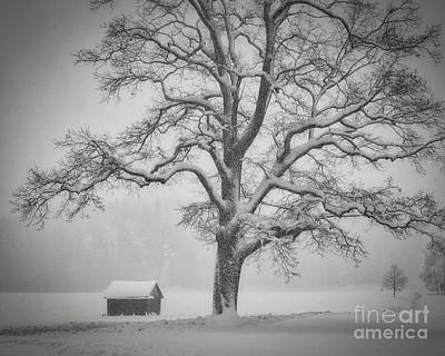 Poster featuring the photograph The Old Oak by Edmund Nagele