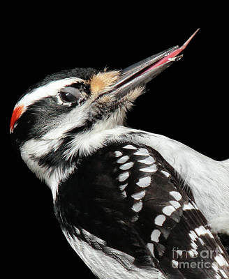 Poster featuring the photograph Tongue Of Woodpecker by Debbie Stahre