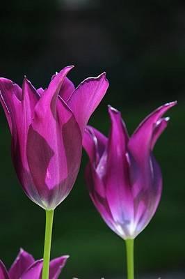 Translucent Tulips Poster