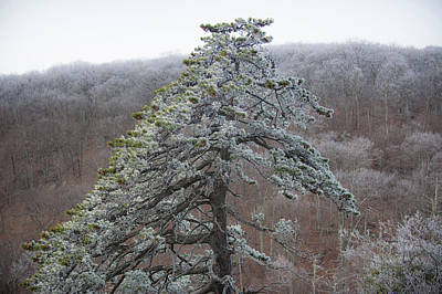 Tree With Hoarfrost Poster