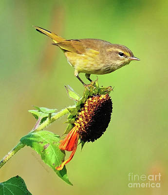 Poster featuring the photograph Warbler by Debbie Stahre