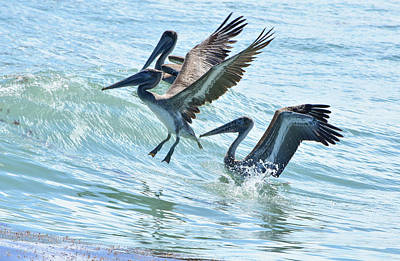 Wave Hopping Pelicans Poster