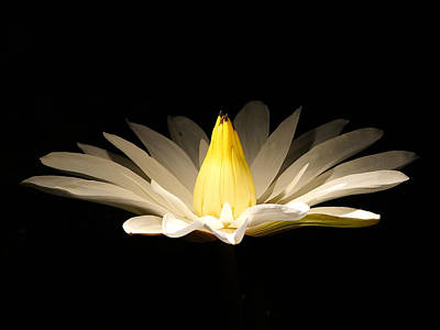 White Lily At Night Poster