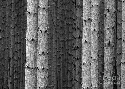 White Pines Black And White Poster
