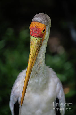 Yellow Billed Storks Poster