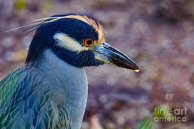 Yellow-crowned Night Heron Poster