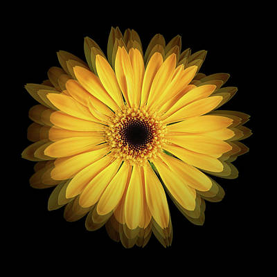 Poster featuring the photograph Yellow Gerbera Daisy Repetitions by Bill Swartwout Fine Art Photography