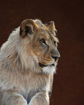 Poster featuring the photograph Young Male Lion Portrait by Debi Dalio