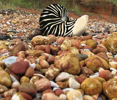 Zebra Nautilus Shell On Bauxite Beach Poster