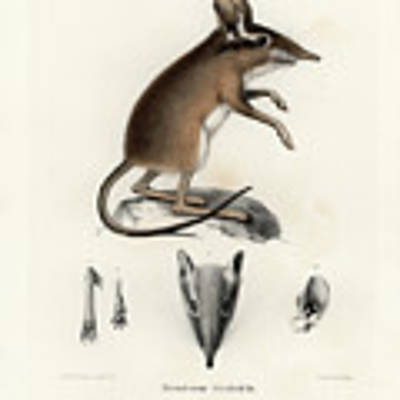 Four-toed Elephant Shrew Poster by J D L Franz Wagner