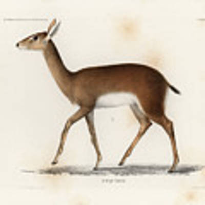 Oribi, A Small African Antelope Poster by J D L Franz Wagner