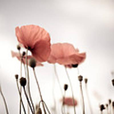 Corn Poppy Flowers Poster by Nailia Schwarz