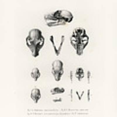 African Mammal Skulls Poster by Hugo Troschel