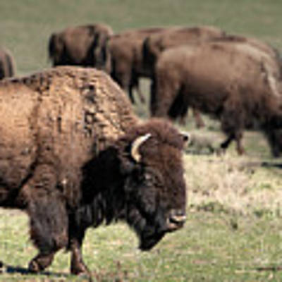 American Bison 5 Poster by James Sage