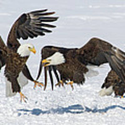 Bald Eagle's Poster by Wesley Aston
