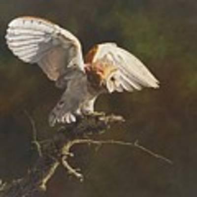 Barn Owl Poster by Alan M Hunt