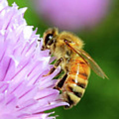 Bee On Chive Flower Poster by Ann E Robson