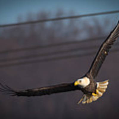 Bird In Flight  Poster by Cindy Lark Hartman