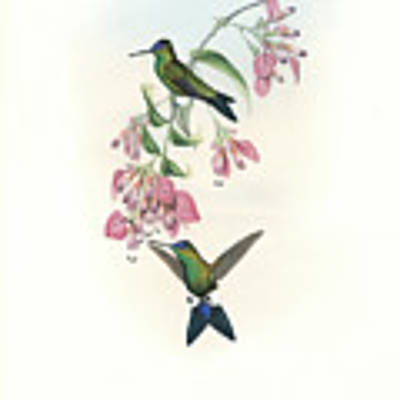 Blue-capped Puffleg Hummingbird Eriocnemis Glaucopoides Poster by John and Elizabeth Gould