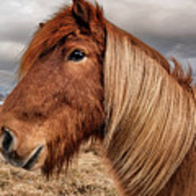 Bushy Icelandic Horse Poster by Pradeep Raja PRINTS