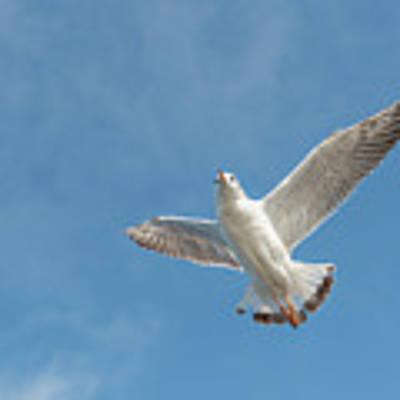 Flying Seagull Poster by Pradeep Raja PRINTS