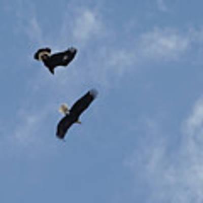 Golden Eagle Vs. Bald Eagle Poster by Bill Gabbert
